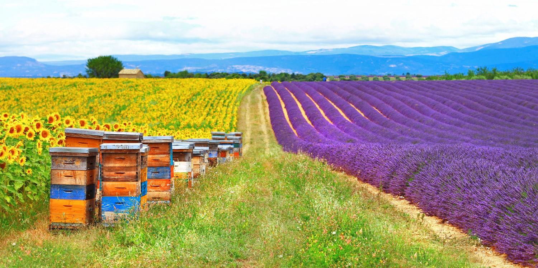 Bee farm sunflower and lavender.jpg