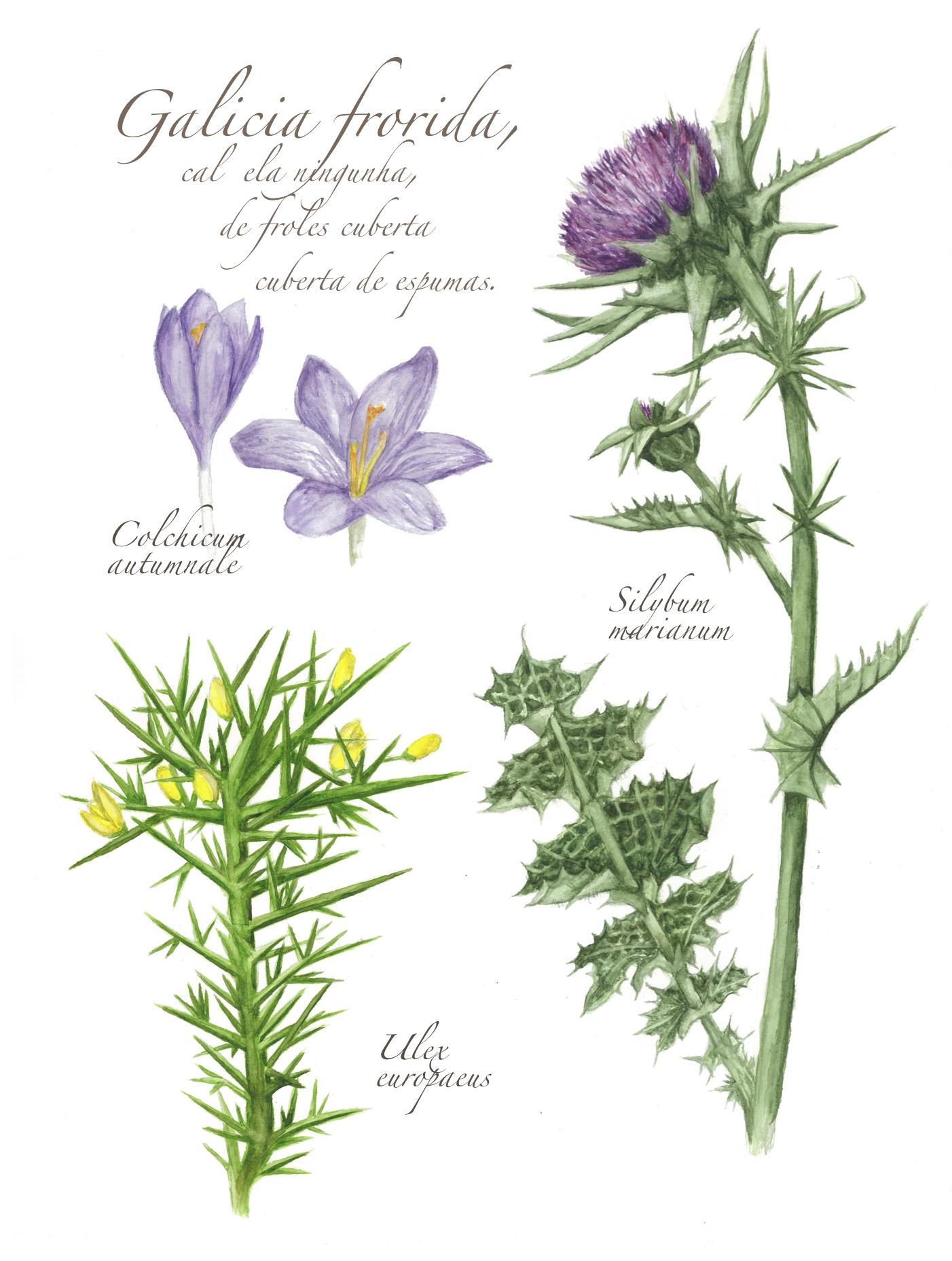Flowers of Galicia