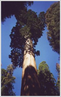 Sequoia-Tree.jpg