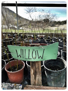 450 willow saplings need to be planted in Long Meadow while soil moisture is adequate. Please call and help today. 760.447.1702 and info@wildplaces.net