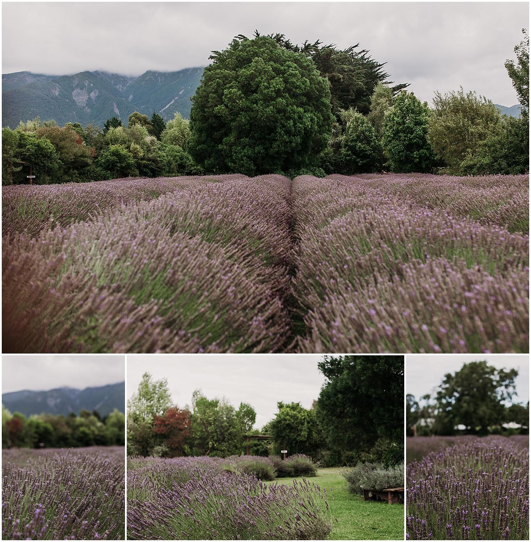Lavenderfarm.jpg