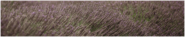lavender Bushes Kaikoura .jpg