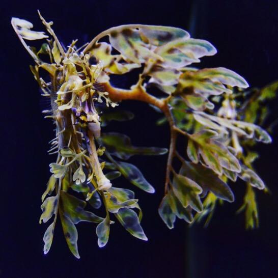 Leafy sea dragon - Florida Aquarium