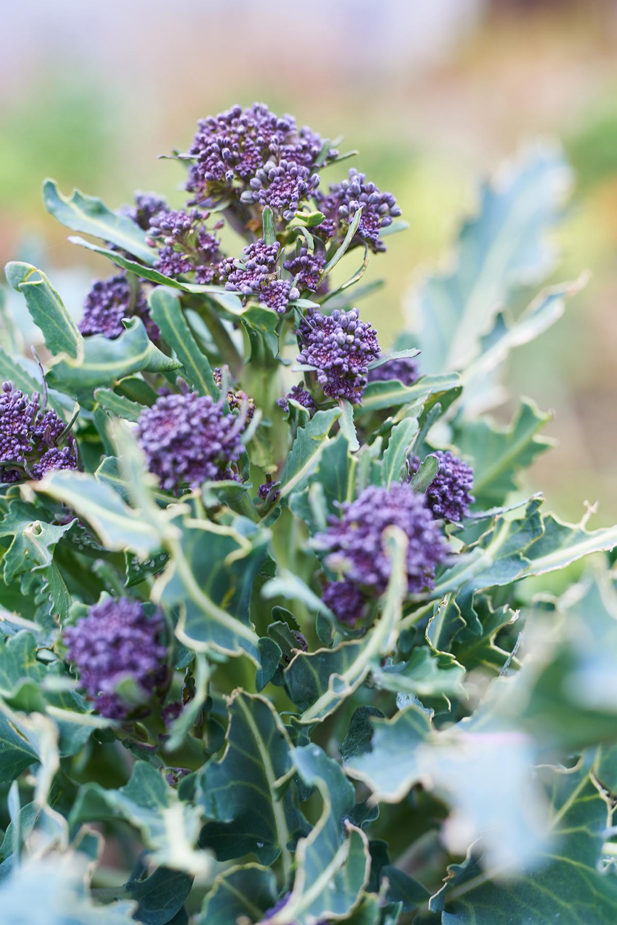 Oh so pretty Purple Sprouting Broccoli