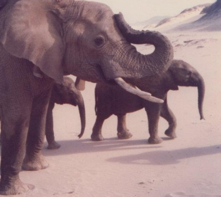 Jabu (small calf in front) and Thembi (following behind) in 1990.