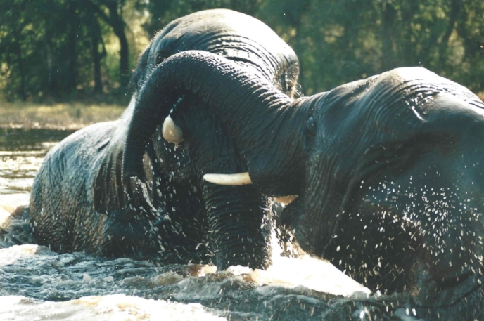 Morula (left) and Thembi with smiles as they play and thrash in the water together