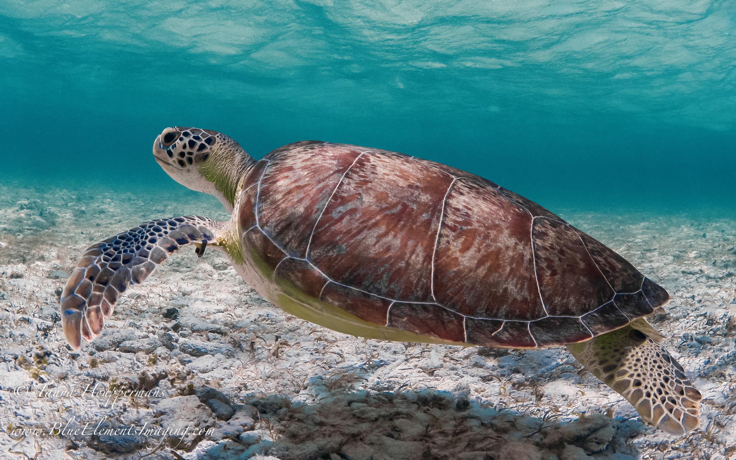 sea turtle_Grand Cayman.jpg