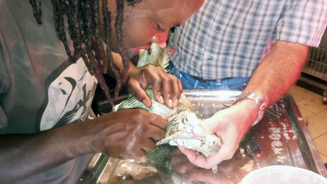 Soins prodigués à un iguane des petites antilles au centre sos faune sauvage de guadeloupe