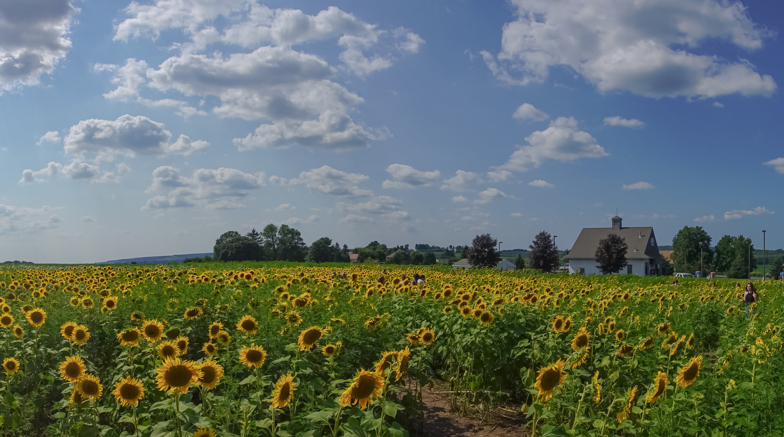 Magical Sunflowers - Discover this magical field of sunflowers every August in Elverson, Pa.