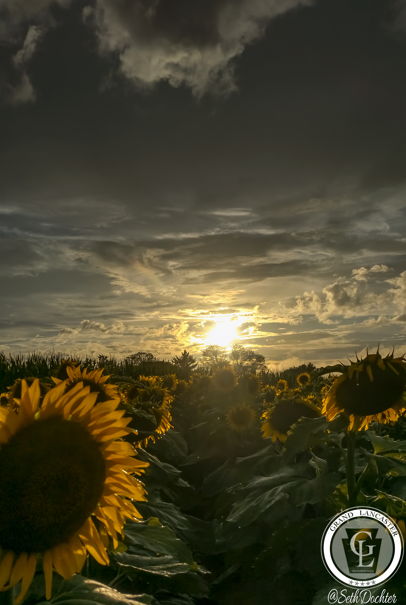 1506 - sunflowers 2018 - sun setting elverson
