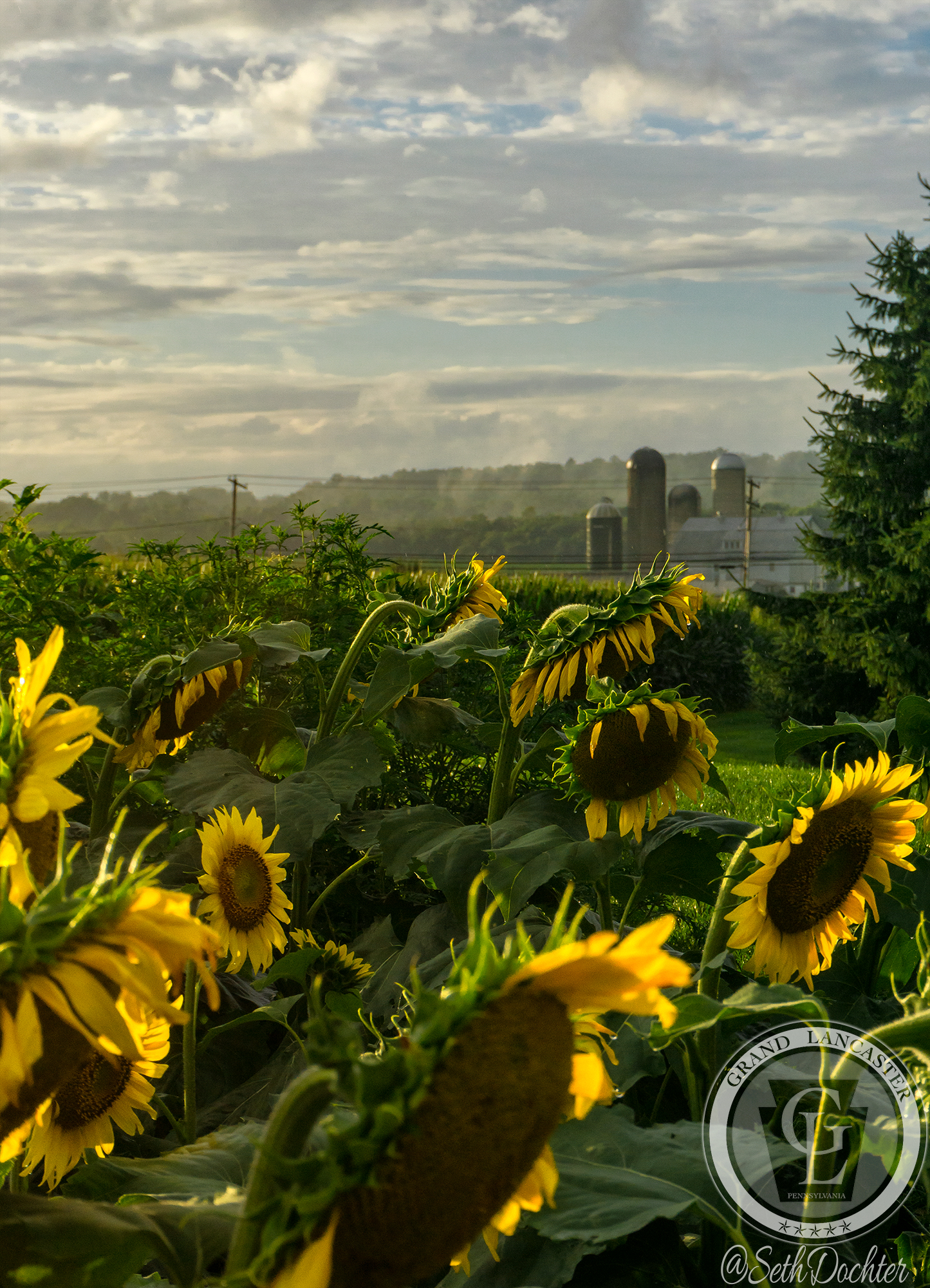 1509- sunflowers 2018 - elverson farm background