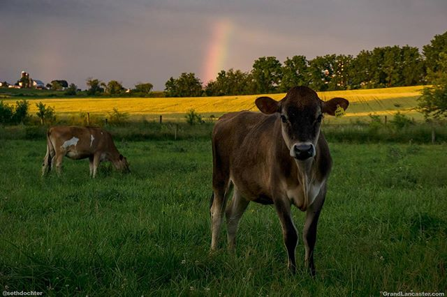 Ended a damp day with some pieces of rainbow and some friends #rainbow #grandlancaster #lancastergram #iglanc #countryside #rural #rural_love #country_features #amishcountry #lookup #storm #ic_skies #discoverlancaster #alwayslancaster #pennlive #uncoveringpa #sonyalpha #sonyimages #pocket_farms #sunset #naturehippys #naturelovers #naturegram #cows