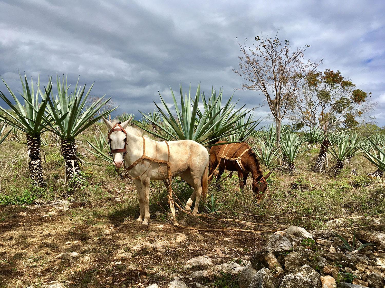 Maya_Luxe_Riviera_Maya_Luxury_Vacation_Rentals_What_to_do_Yucatan_Green_Gold_of_Yucatán_Hacienda_Adventure_72.jpg