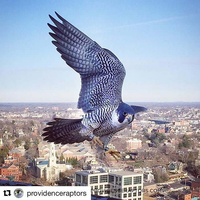 Sure sign of spring. Falcon family forming at the Superman Building. #savesupermanri ------------ #Repost @providenceraptors with @repostapp ・・・ Close encounter of the falcon kind today - photo taken with my iPhone  #peregrinefalcon #birdsofinstagram #providence #raptors #only_raptors #birdsofprey #birds #urbanwildlife #predator #bestbirdshots #wildlife #birdphotography #birdstagram #animals