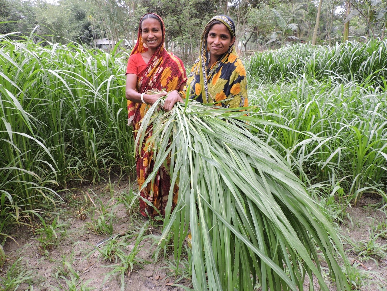 Laheri (left) and another producer group member cutting napier grass for cattle fodder