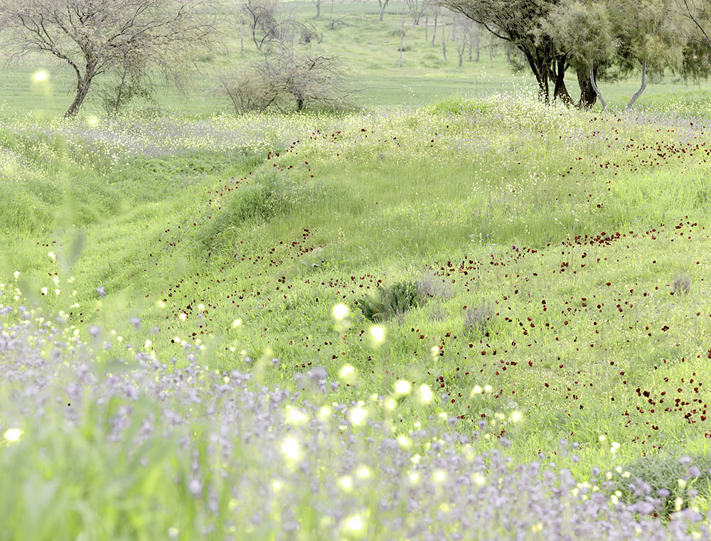Negev, Nahal Grar, Wildflowers, 2012.      Photo by Neil Folberg