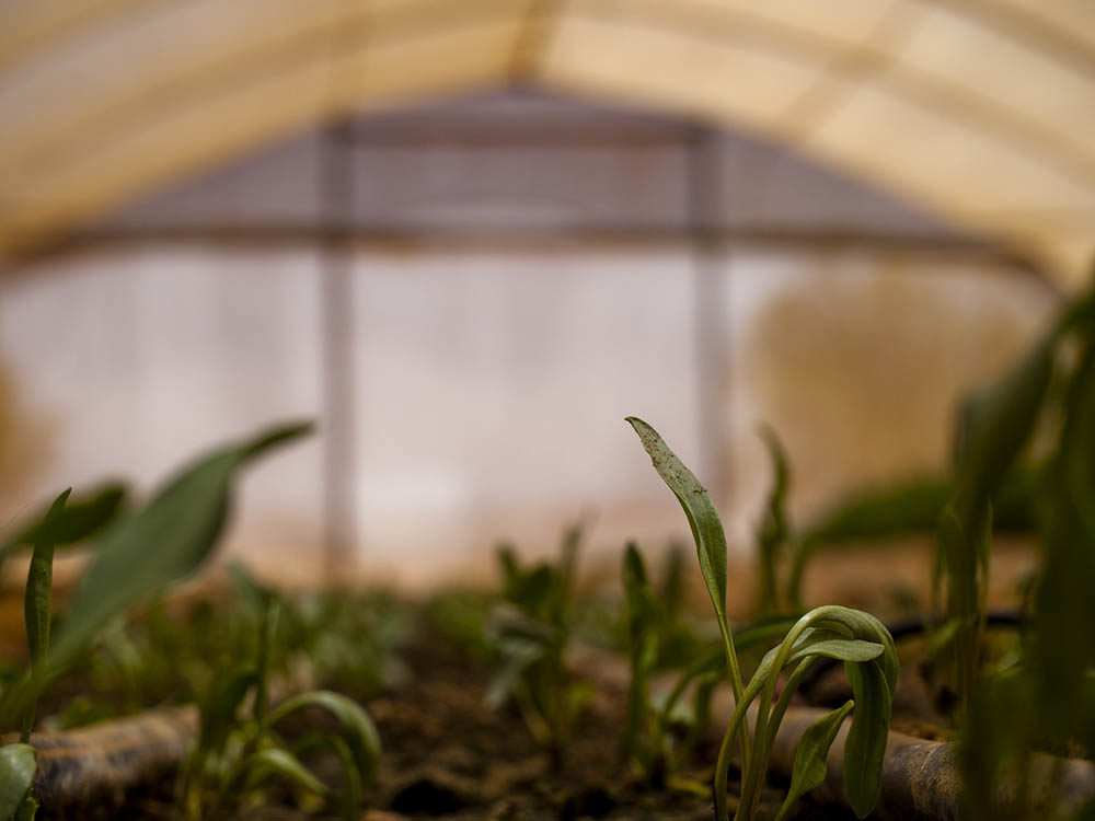 New shoots in a Western Negev greenhouse