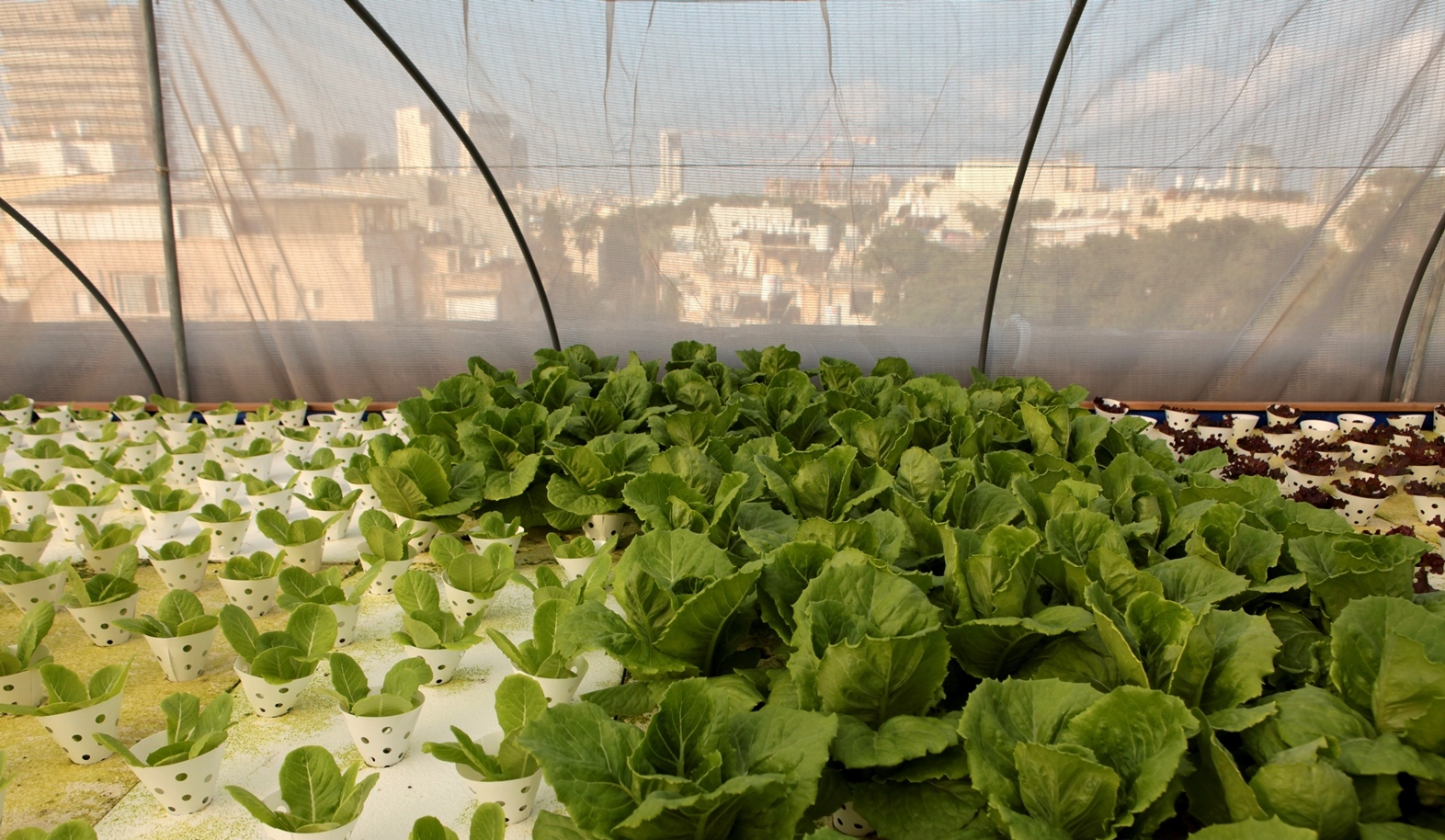 Fresh greens grown in the middle of Tel Aviv. Photo by Mendi Falk