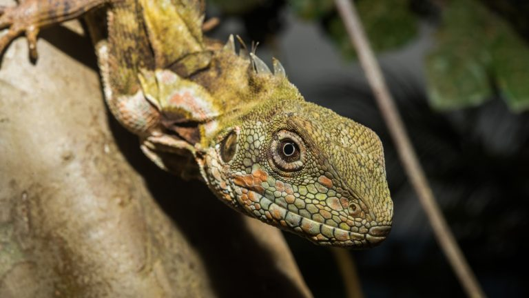 A Papua Forest Dragon (Hypsilurus papuensis). Photo by Alex Slavenko