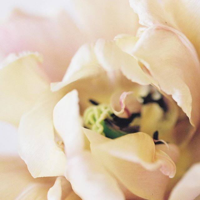 Missing my garden already. Loved walking outside to cut beautiful flowers to brighten the house. As much as I love winter sports, spring and summer are my favourite seasons. What is your favourite season? Also loving shooting with film again! . . . . . #jacquelinedancephotography #film #kodakportra400 #thefindlab #tulips #missingspring #vancouverphotographer #filmisnotdead