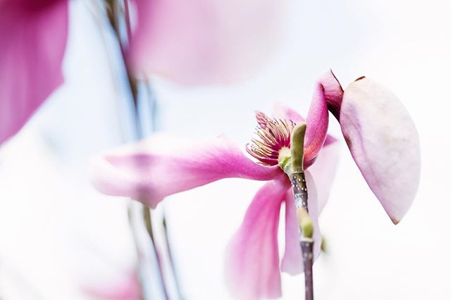 Who else is so excited for summer break? While summer is my favourite, I love the spring flowers. This image speaks to me. This magnolia is by no means perfect. It has lost petals, one is broken and wilting. But it is still beautiful in its imperfection. . . . . .  #jacquelinedancephotography #springflowers #magnolia #beauty #beautyisintheeyeofthebeholder #fineartphotography #igflowers
