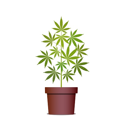 marijuana plant_resized.jpg
