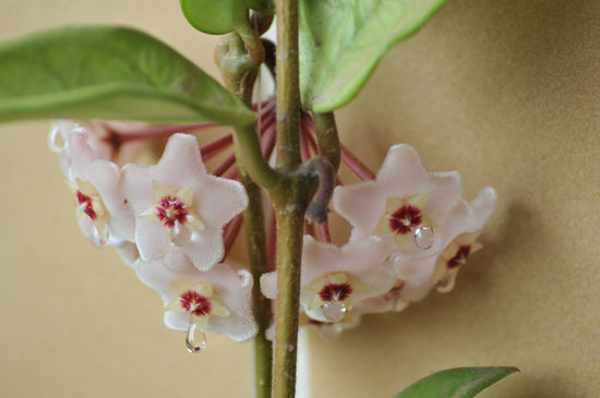 The nectar of the common house plant, Hoya carnosa, is very useful in treating certain types of trauma