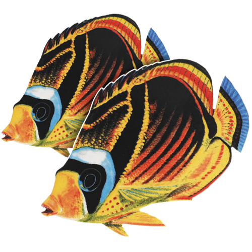 Raccoon Butterfly Fish Double