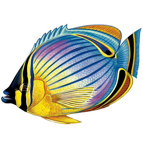 Redfin Butterfly Fish
