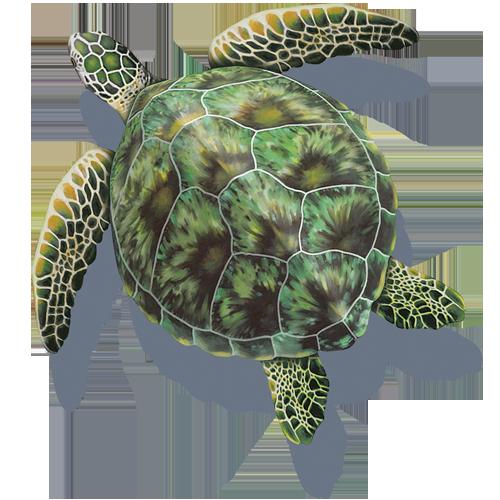Green Sea Turtle w/sh