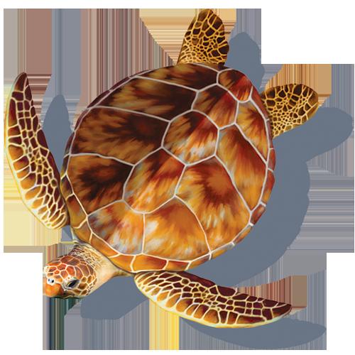 Loggerhead Turtle w/sh