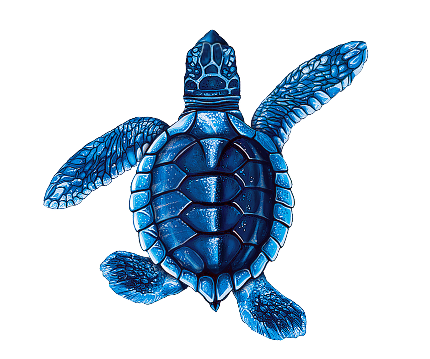 Baby Turtle B - Blue