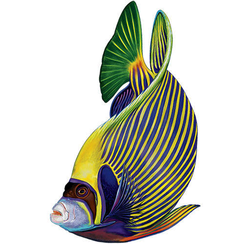 Emperor Angelfish Reverse