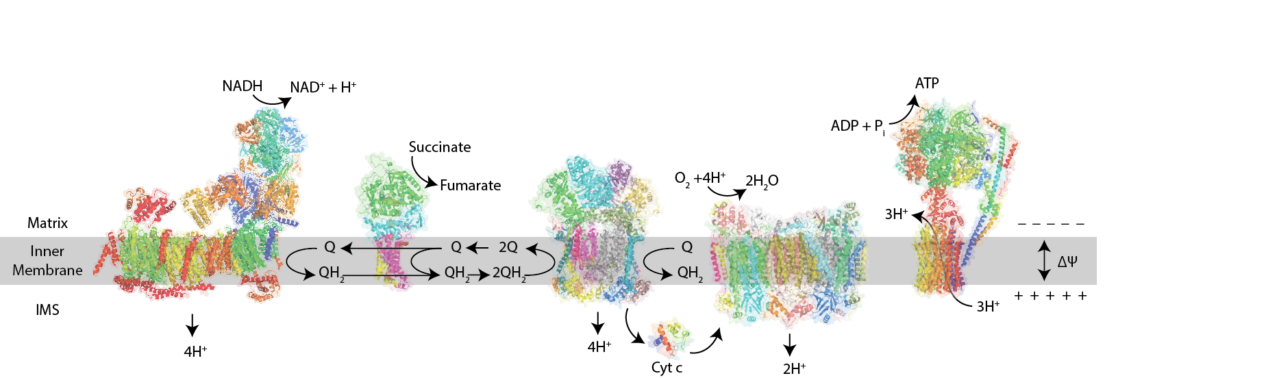 Mitochondrial oxidative phosphorylation and protein complexes