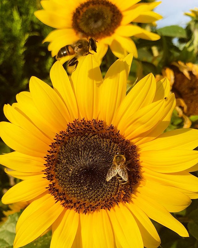 🌻 #antonhoney #beekeeping #honeybees #beelove #freebees #honeycomb #carniolanbees #beekeepinglife #savethebees #beehive #slovenianbeekeeping #beethinking #sunflower
