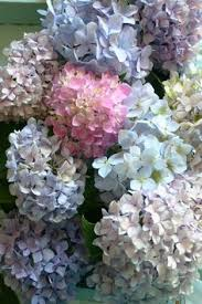 pastel hydrangea.jpg