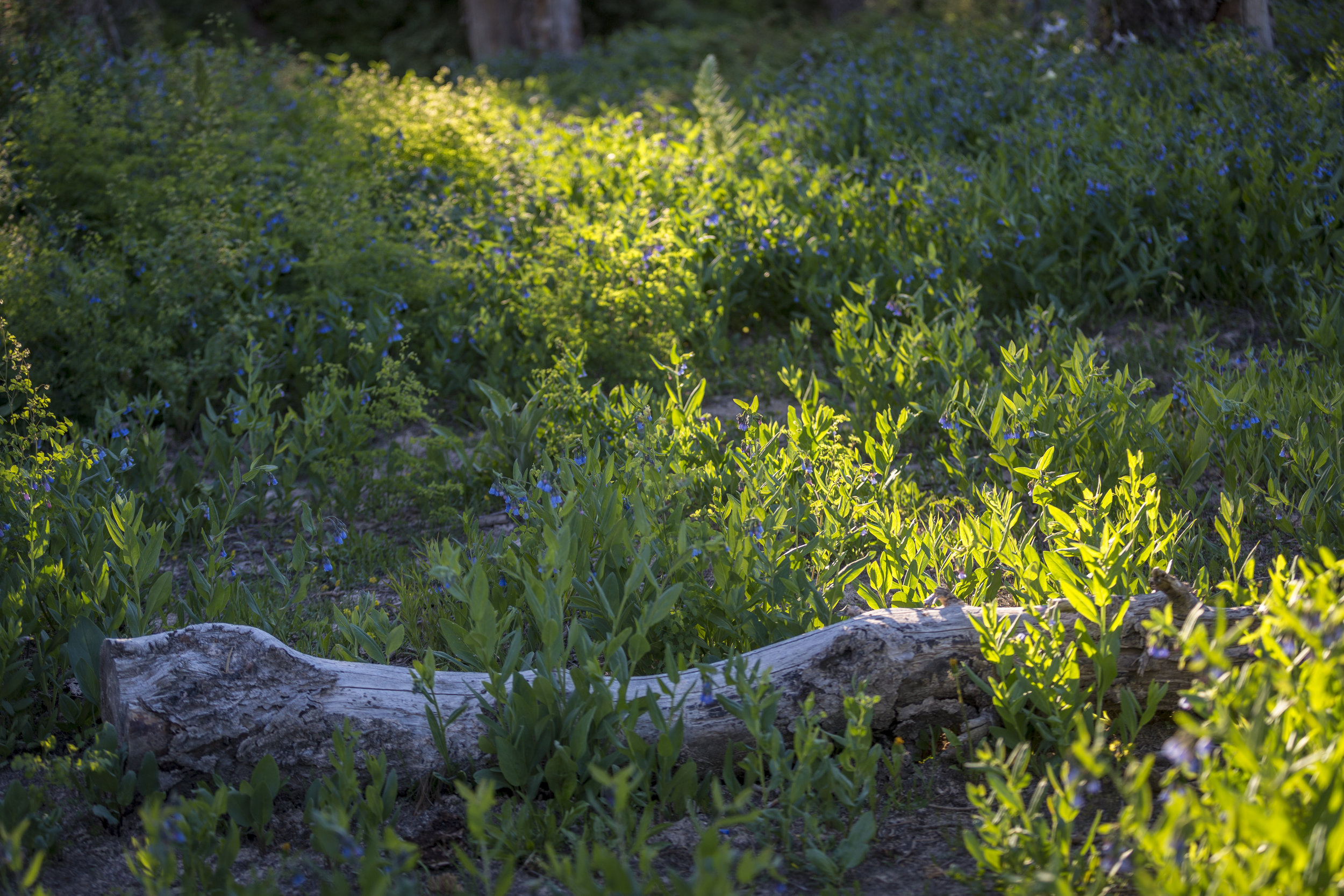 Morning - Cedar Breaks