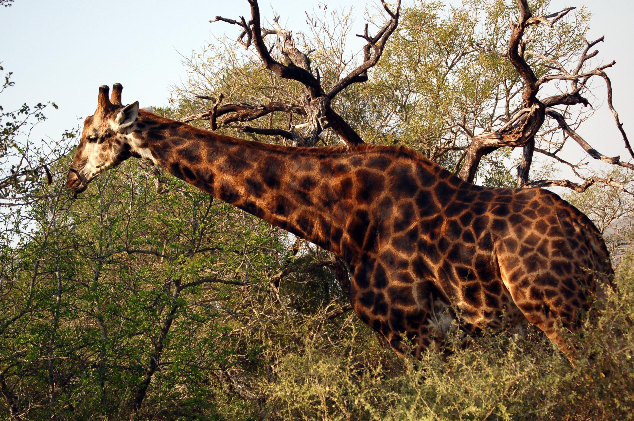 Bull Giraffe