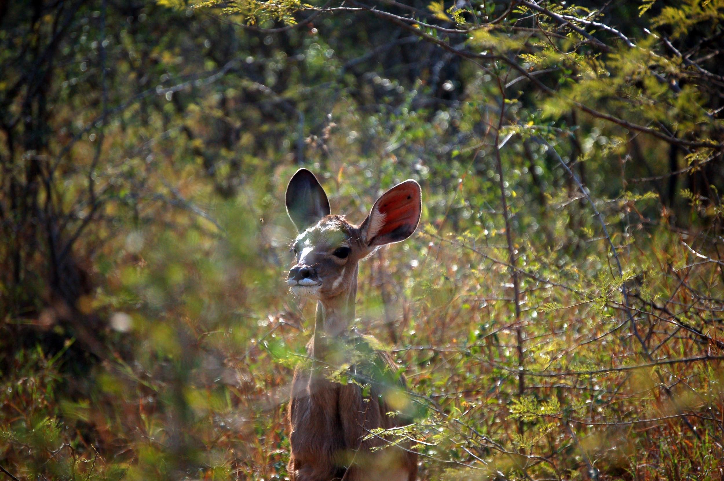 Immature Kudu