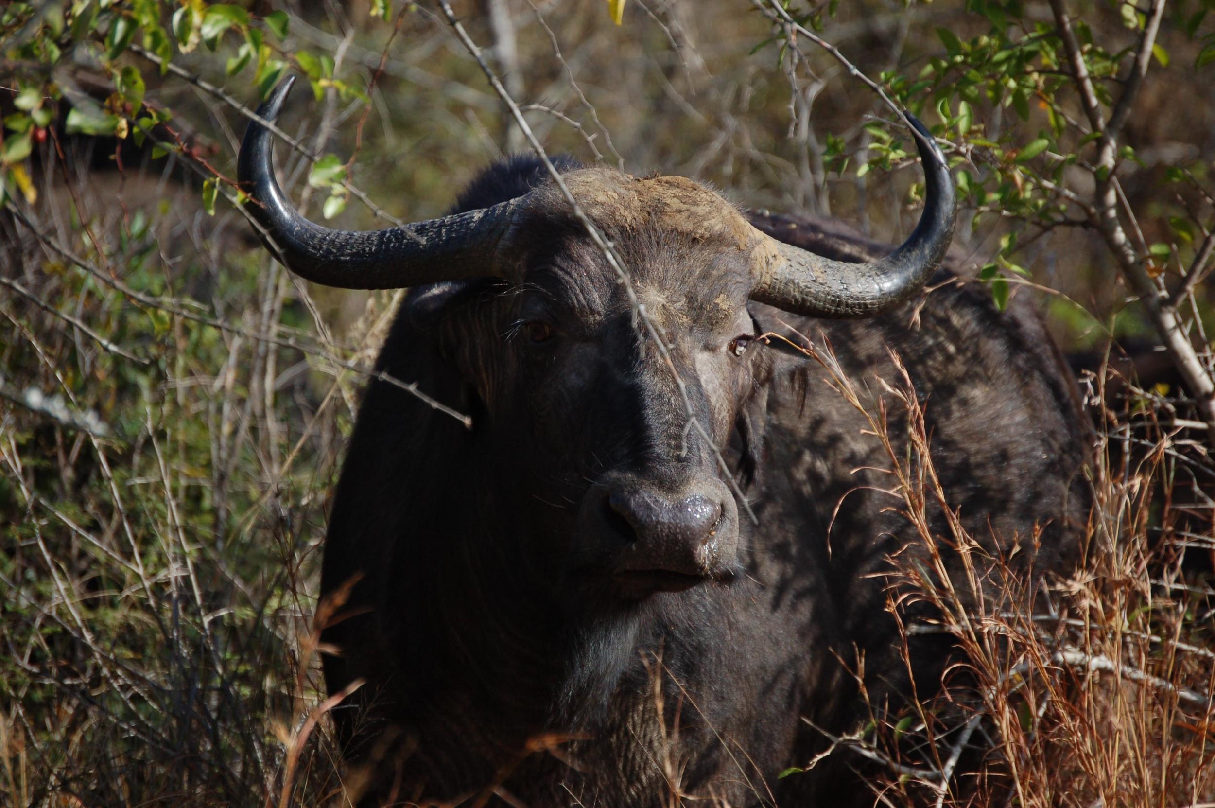 African Buffalo