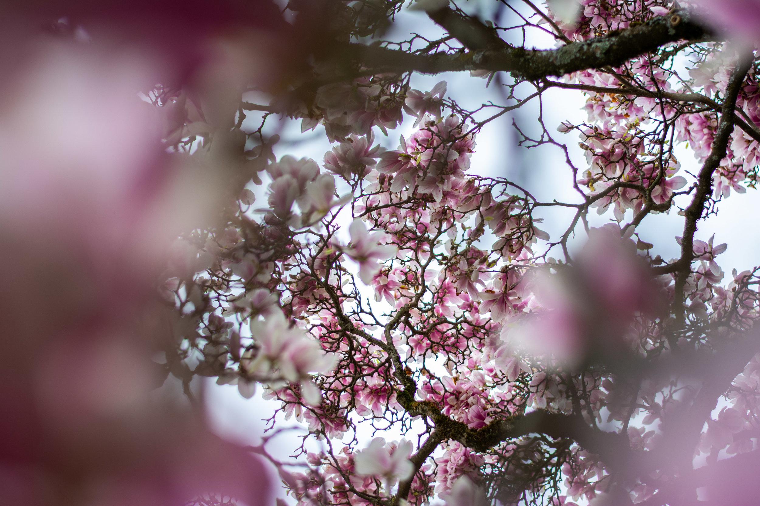 Magnolia Blossom 3
