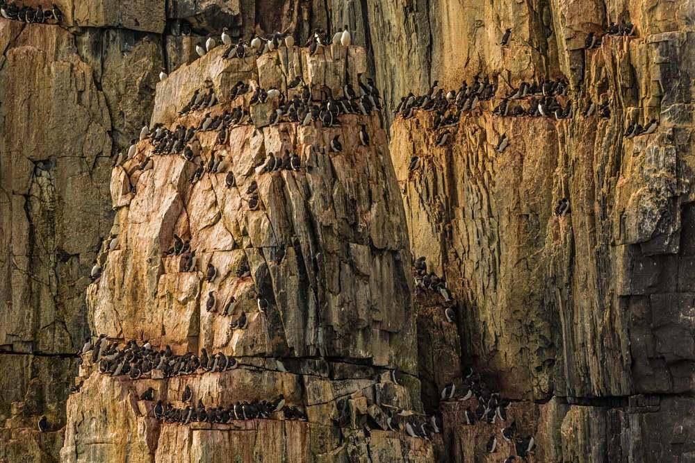 Thick-Billed-Murres-on-Bird-Cliffs.jpg