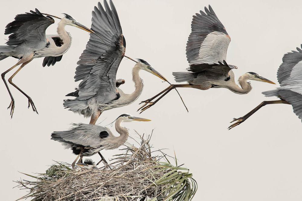Great-Blue-Herons.jpg