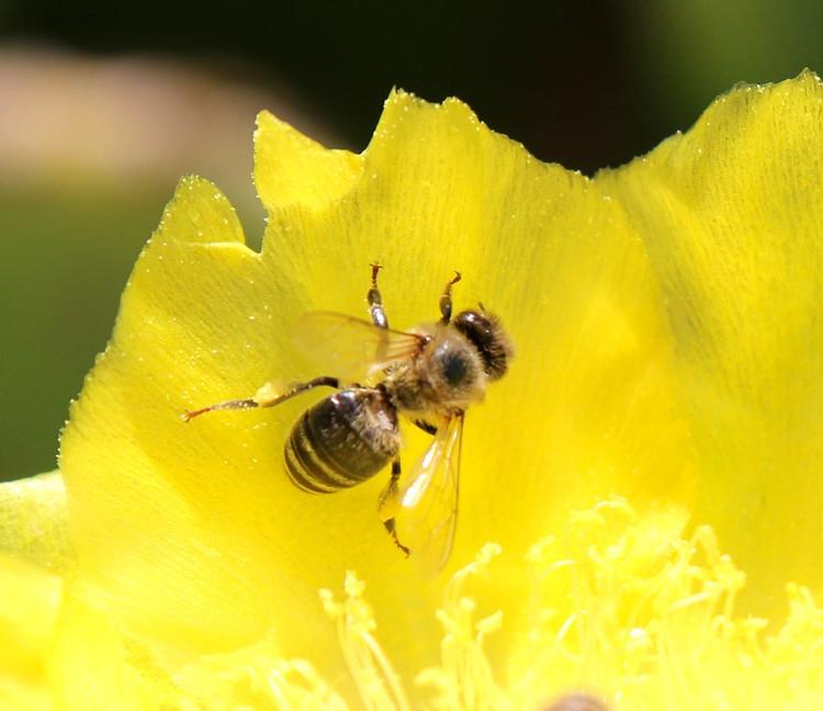 Bee+on+Cacti+Flower.jpg