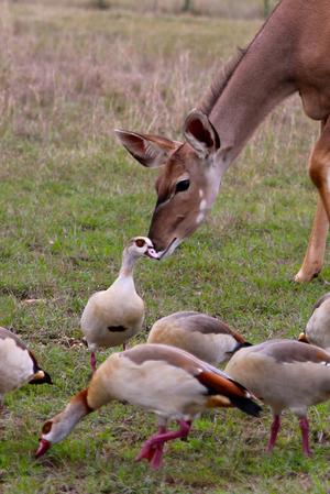 Female+Kudu+sniffing+Egyptian+Geese.jpg