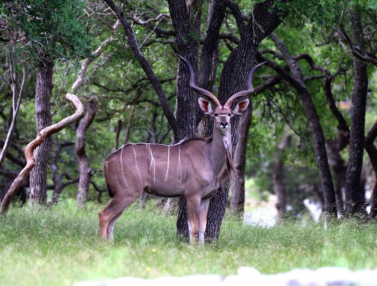 Kudu-1.jpg