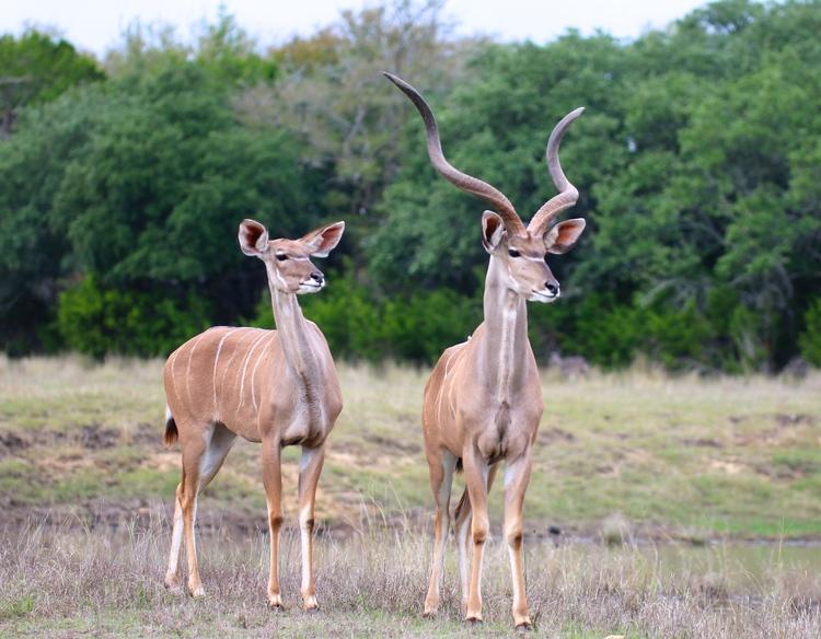Male+&+Female+Kudu.jpg