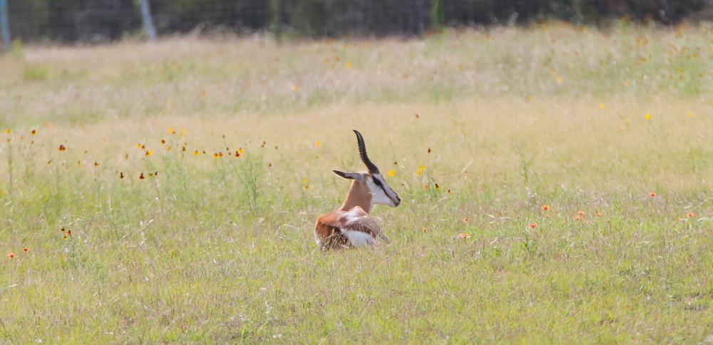 Springbok1.jpg