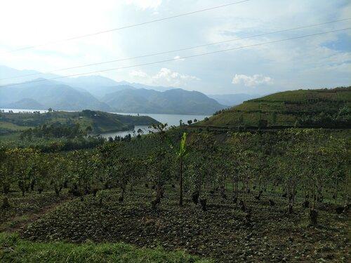 Coffee fields in Bulenga, Democratic Republic of Congo where the SOPACDI cooperative is located.