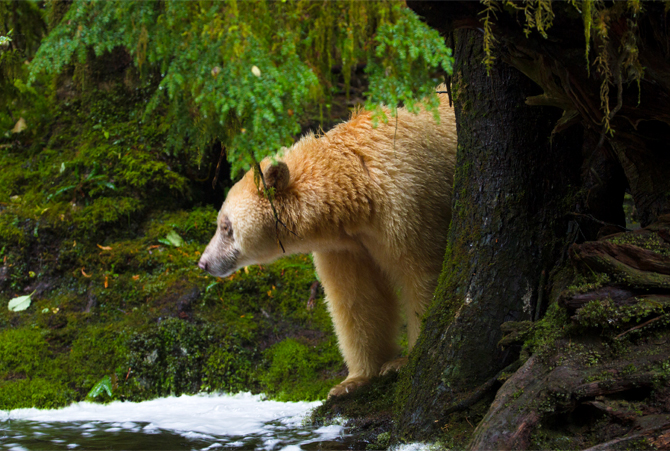 SPIRIT BEAR - Great Bear Rainforest, Canada